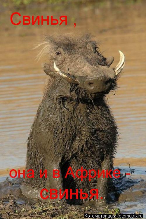 Котоматрица: она и в Африке -  свинья. Свинья ,