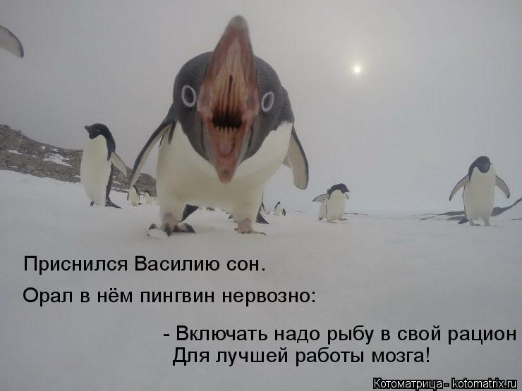 Котоматрица: Приснился Василию сон. Орал в нём пингвин нервозно: - Включать надо рыбу в свой рацион Для лучшей работы мозга!