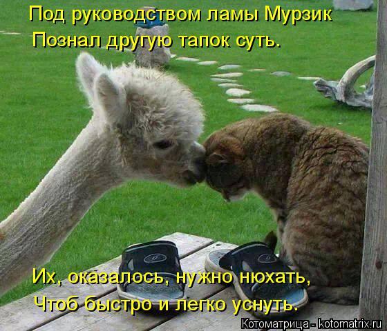 Котоматрица: Под руководством ламы Мурзик Познал другую тапок суть. Их, оказалось, нужно нюхать, Чтоб быстро и легко уснуть.