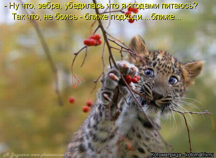 Котоматрица: - Ну что, зебра, убедилась что я ягодами питаюсь? Так что, не боись - ближе подходи....ближе...