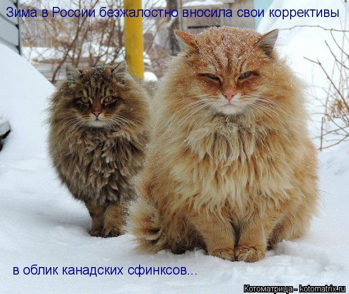Котоматрица: в облик канадских сфинксов...   Зима в России безжалостно вносила свои коррективы