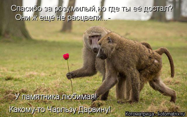 Котоматрица: Спасибо за розу,милый,но где ты её достал? Они ж ещё не расцвели...- У памятника,любимая! Какому-то Чарльзу Дарвину!