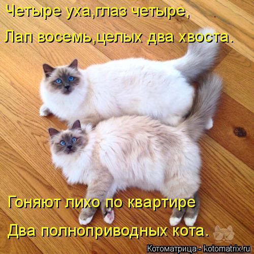 Котоматрица: Четыре уха,глаз четыре, Лап восемь,целых два хвоста. Гоняют лихо по квартире Два полноприводных кота.