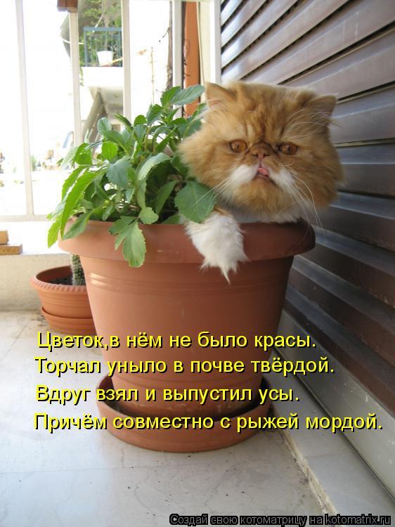 Котоматрица: Причём совместно с рыжей мордой. Вдруг взял и выпустил усы. Торчал уныло в почве твёрдой. Цветок,в нём не было красы.
