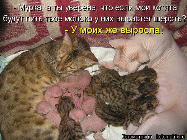 Котоматрица: - Мурка, а ты уверена, что если мои котята будут пить твое молоко,у них вырастет шерсть?  - У моих же выросла!