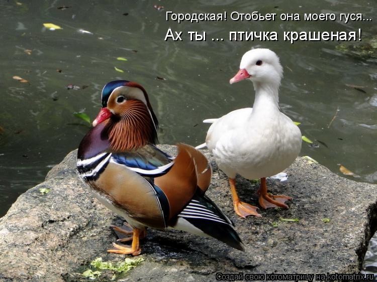 Котоматрица: Ах ты ... птичка крашеная! Городская! Отобьет она моего гуся...