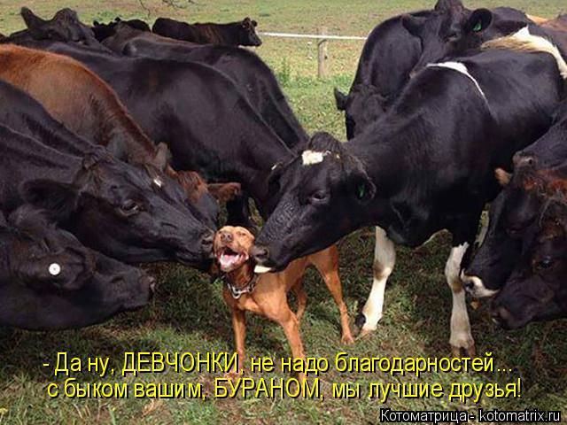 Котоматрица: - Да ну, ДЕВЧОНКИ, не надо благодарностей... с быком вашим, БУРАНОМ, мы лучшие друзья!
