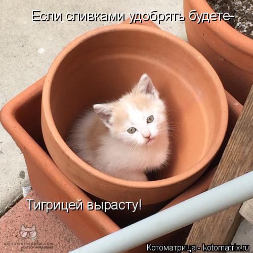 Котоматрица: Если сливками удобрять будете- Тигрицей вырасту!