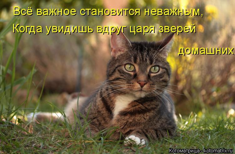 Котоматрица: Всё важное становится неважным, Когда увидишь вдруг царя зверей домашних.