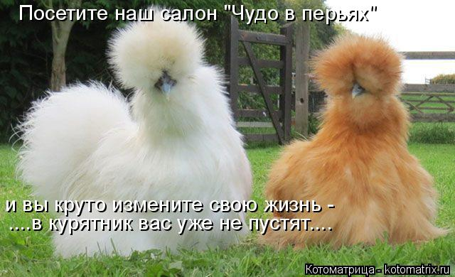 """Котоматрица: Посетите наш салон """"Чудо в перьях"""" и вы круто измените свою жизнь -  ....в курятник вас уже не пустят...."""