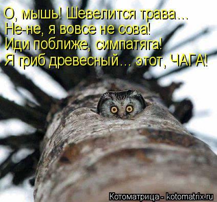 Котоматрица: О, мышь! Шевелится трава… Не-не, я вовсе не сова! Иди поближе, симпатяга! Я гриб древесный… этот, ЧАГА!