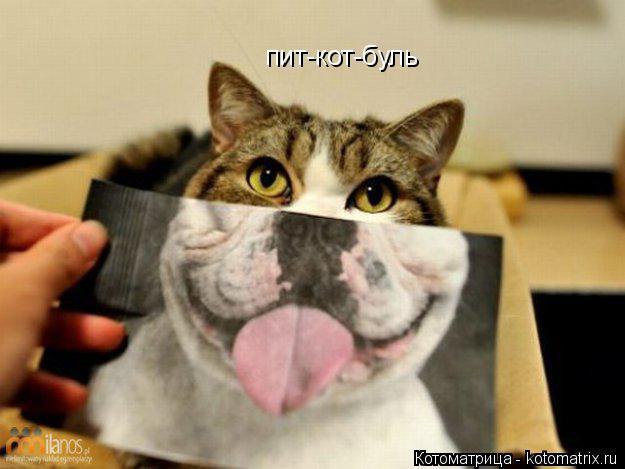 Котоматрица: пит-кот-буль