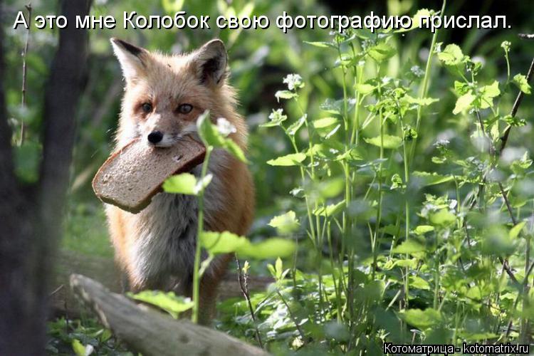 Котоматрица: А это мне Колобок свою фотографию прислал.