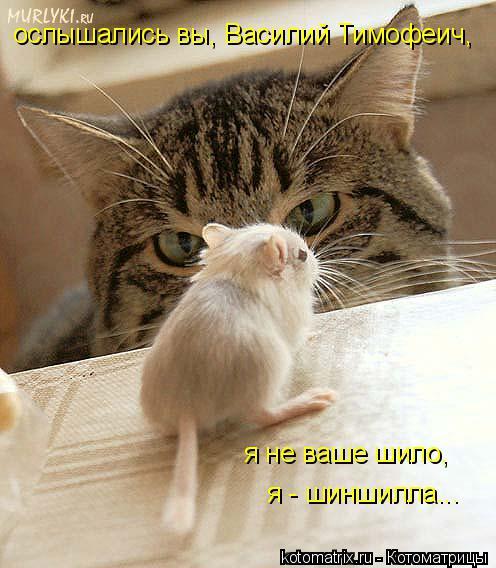 Котоматрица: ослышались вы, Василий Тимофеич, я не ваше шило, я - шиншилла...