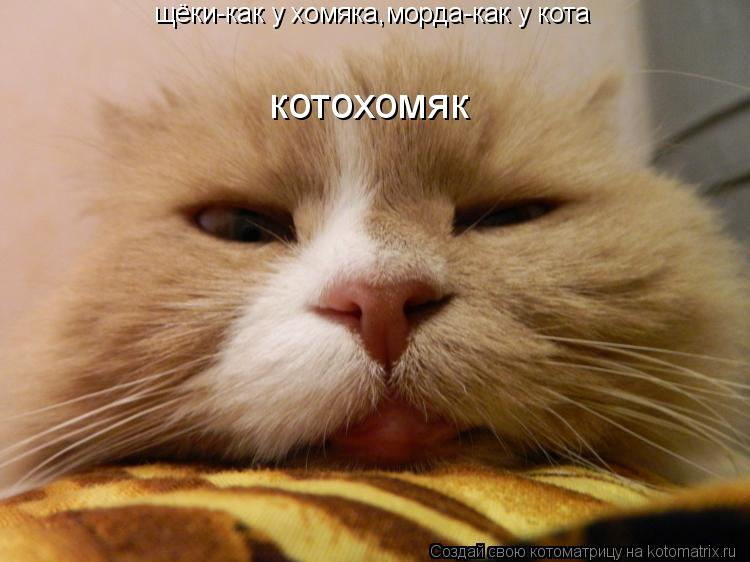 Котоматрица: щёки-как у хомяка,морда-как у кота котохомяк