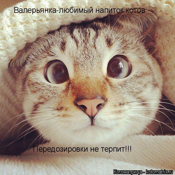 Котоматрица: Валерьянка-любимый напиток котов Передозировки не терпит!!!