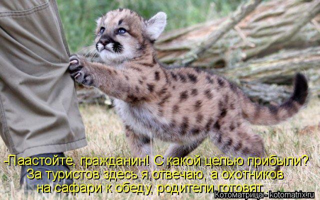 Котоматрица: -Паастойте, гражданин! С какой целью прибыли? За туристов здесь я отвечаю, а охотников на сафари к обеду, родители готовят..