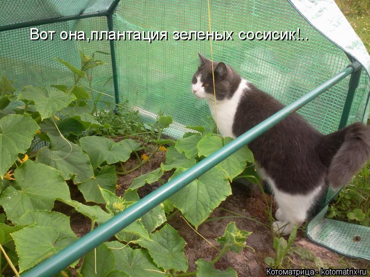 Котоматрица: Вот она,плантация зеленых сосисик!..