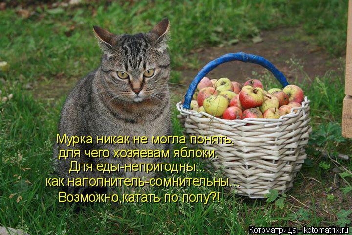Котоматрица: Мурка никак не могла понять, для чего хозяевам яблоки. Для еды-непригодны... как наполнитель-сомнительны... Возможно,катать по полу?!