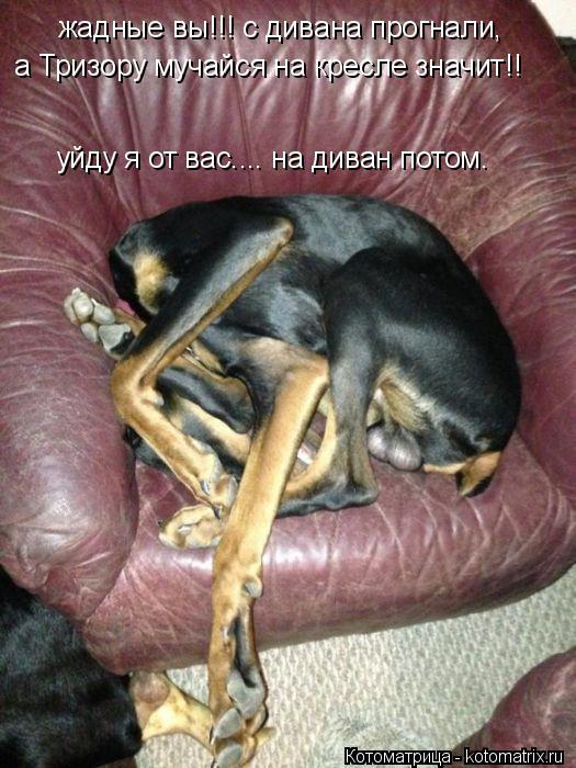 Котоматрица: жадные вы!!! с дивана прогнали, а Тризору мучайся на кресле значит!! уйду я от вас.... на диван потом.
