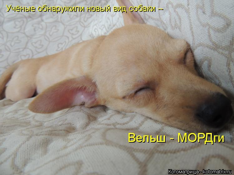 Котоматрица: Учёные обнаружили новый вид собаки -- Вельш - МОРДги