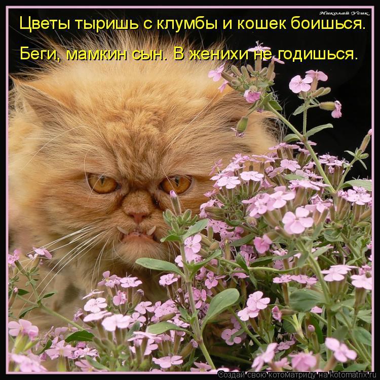 Котоматрица: Цветы тыришь с клумбы и кошек боишься. Беги, мамкин сын. В женихи не годишься.