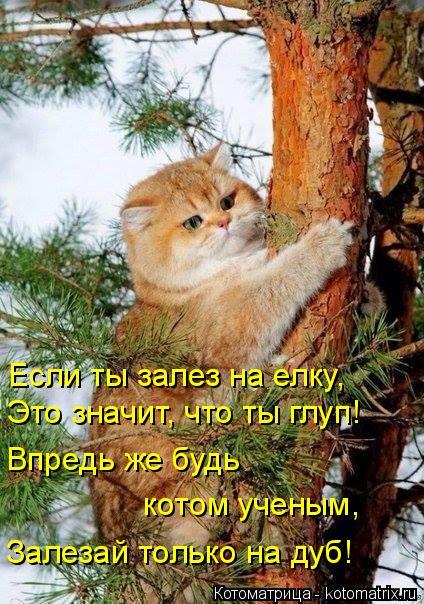 Котоматрица: Если ты залез на елку, Это значит, что ты глуп! Впредь же будь  котом ученым, Залезай только на дуб!