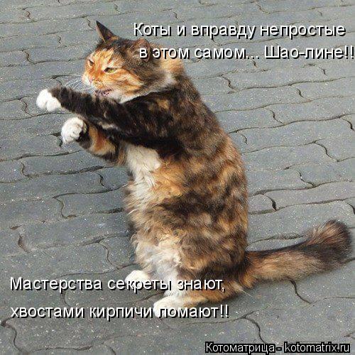 Котоматрица: Коты и вправду непростые в этом самом... Шао-лине!! Мастерства секреты знают, хвостами кирпичи ломают!!