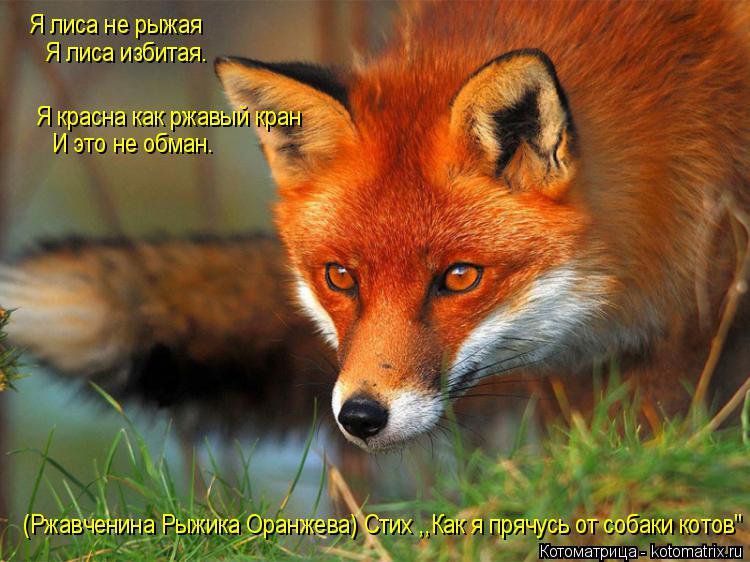 Котоматрица: Я лиса не рыжая Я лиса избитая. Я красна как ржавый кран И это не обман. (Ржавченина Рыжика Оранжева) Стих ,,Как я прячусь от собаки котов''