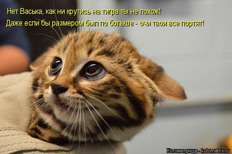Котоматрица: Нет Васька, как ни крутись на тигра ты не похож! Даже если бы размером был по больше - очи твои все портят!