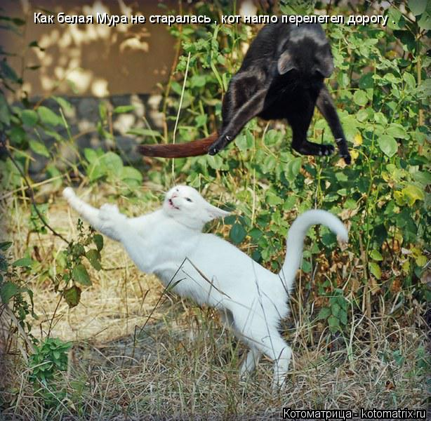 Котоматрица: Как белая Мура не старалась , кот нагло перелетел дорогу .