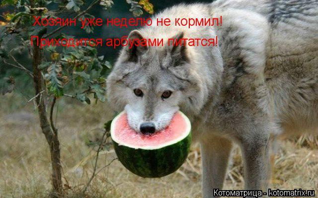 Котоматрица: Приходится арбузами питатся! Хозяин уже неделю не кормил!