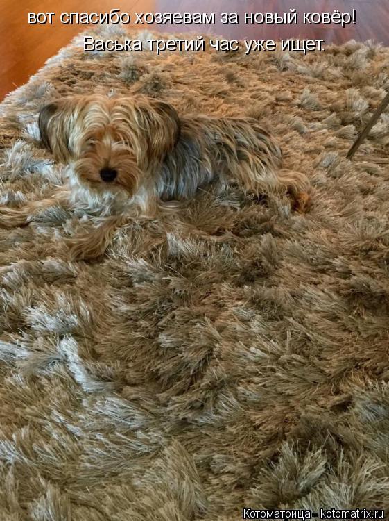 Котоматрица: Васька третий час уже ищет. вот спасибо хозяевам за новый ковёр!