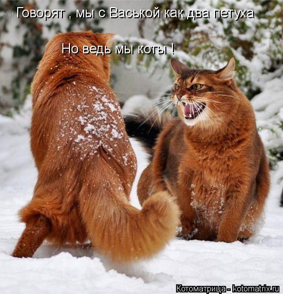 Котоматрица: Говорят , мы с Васькой как два петуха Но ведь мы коты !