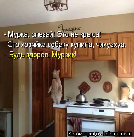 Котоматрица: - Мурка, слезай! Это не крыса! Это хозяйка собаку купила, чихуахуа. -  Будь здоров, Мурзик!
