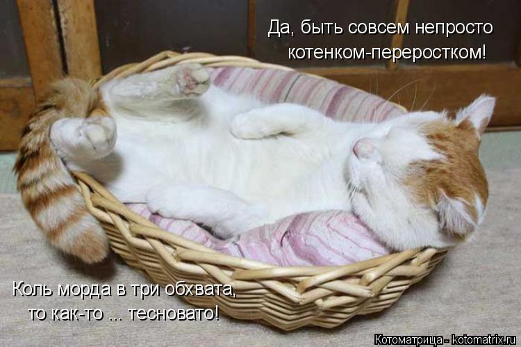 Котоматрица: Да, быть совсем непросто котенком-переростком! Коль морда в три обхвата, то как-то ... тесновато!