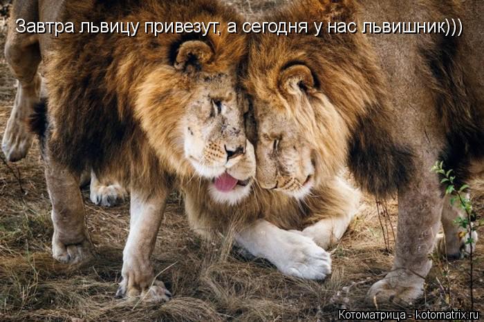Котоматрица: Завтра львицу привезут, а сегодня у нас львишник)))