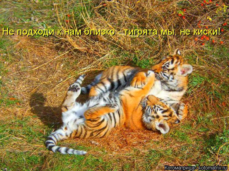 Котоматрица: Не подходи к нам близко - тигрята мы, не киски!