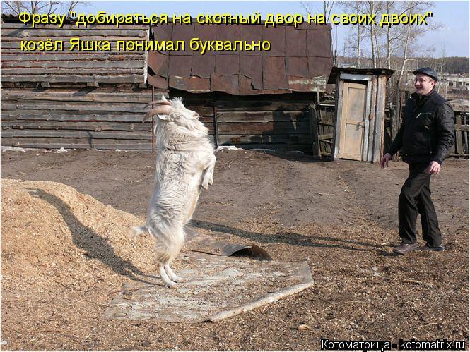"""Котоматрица: Фразу """"добираться на скотный двор на своих двоих"""" козёл Яшка понимал буквально"""