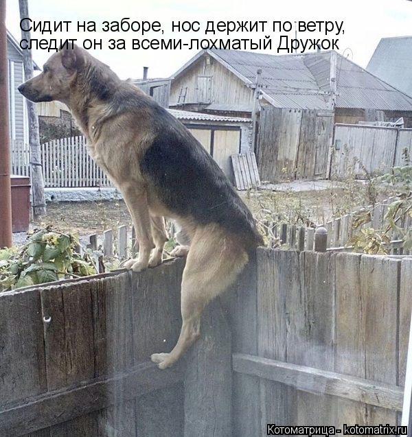 Котоматрица: Сидит на заборе, нос держит по ветру,  следит он за всеми-лохматый Дружок