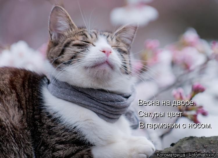 Котоматрица: В гармонии с носом. Сакуры цвет Весна на дворе.