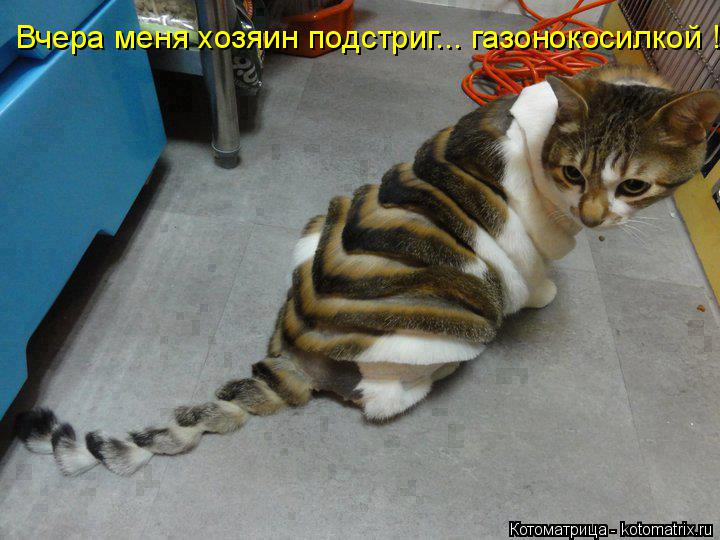 Котоматрица: Вчера меня хозяин подстриг... газонокосилкой !