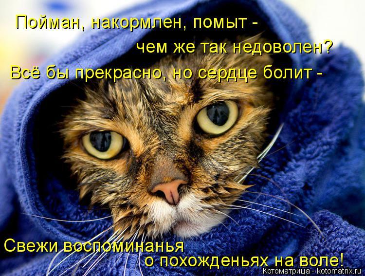 Котоматрица: Пойман, накормлен, помыт - чем же так недоволен? Всё бы прекрасно, но сердце болит - Свежи воспоминанья  о похожденьях на воле!