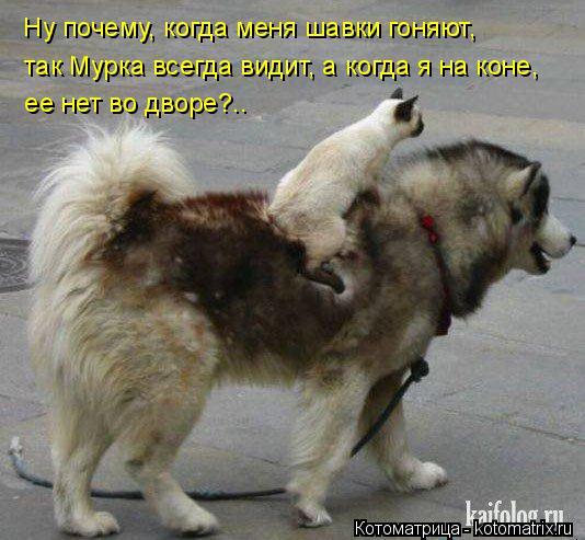 Котоматрица: Ну почему, когда меня шавки гоняют,  так Мурка всегда видит, а когда я на коне,   ее нет во дворе?..