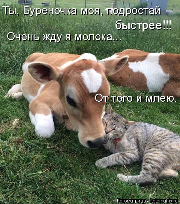 Котоматрица: Очень жду я молока...  От того и млею. Ты, Буреночка моя, подростай быстрее!!!