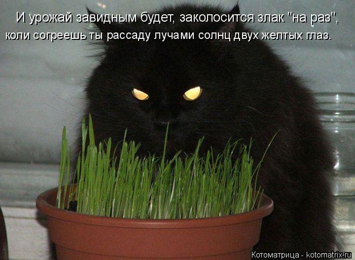 """Котоматрица: И урожай завидным будет, заколосится злак """"на раз"""", коли согреешь ты рассаду лучами солнц двух желтых глаз."""