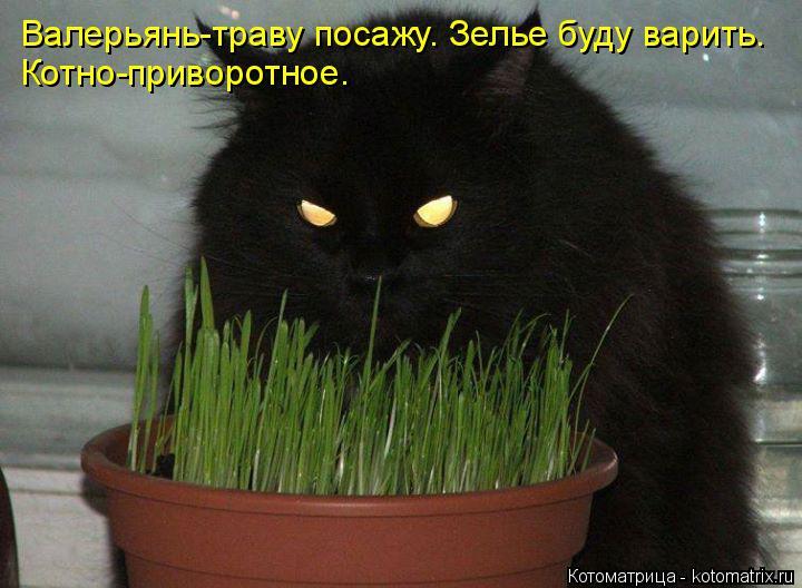 Котоматрица: Валерьянь-траву посажу. Зелье буду варить. Котно-приворотное.