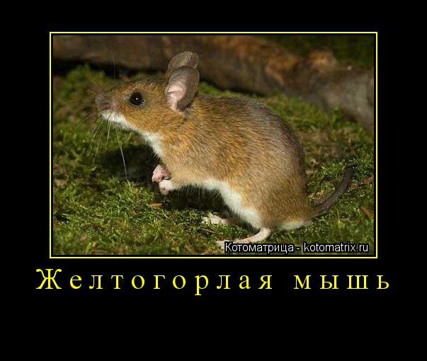 Котоматрица: Желтогорлая мышь