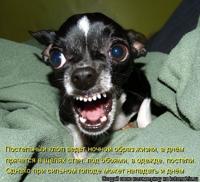 Котоматрица: Постельный клоп ведёт ночной образ жизни, а днём  прячется в щелях стен, под обоями, в одежде, постели. Однако при сильном голоде может напад
