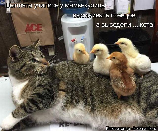 Котоматрица: Цыплята учились у мамы-курицы высиживать птенцов, а выседели ... кота!